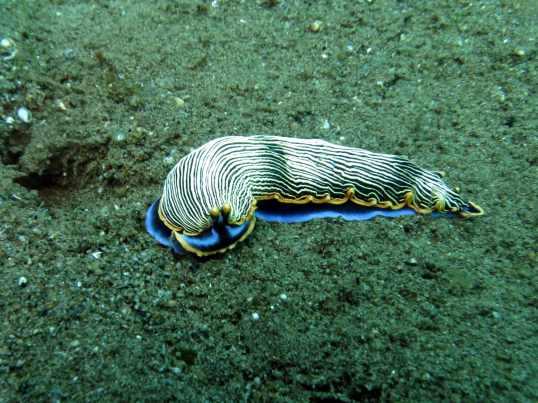 Nudibranch muck diving Dauin Negros Philippines