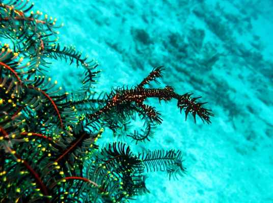 Ghost pipefish Alona reef Panglao Bohol Philippines