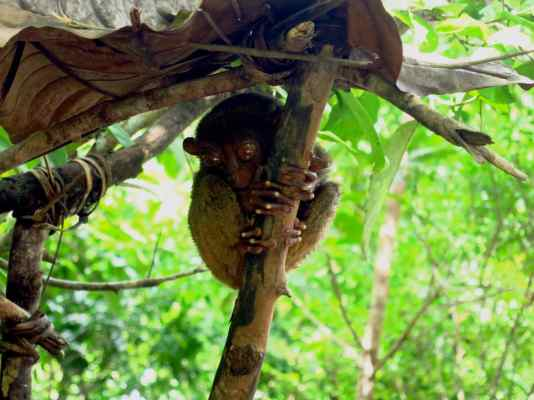 Bohol countryside Tarsier sanctuary Chocolate hills Philippines