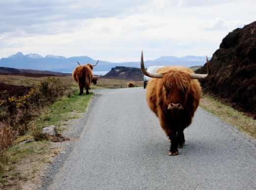 Highland cows on the roads of Skye Scotland