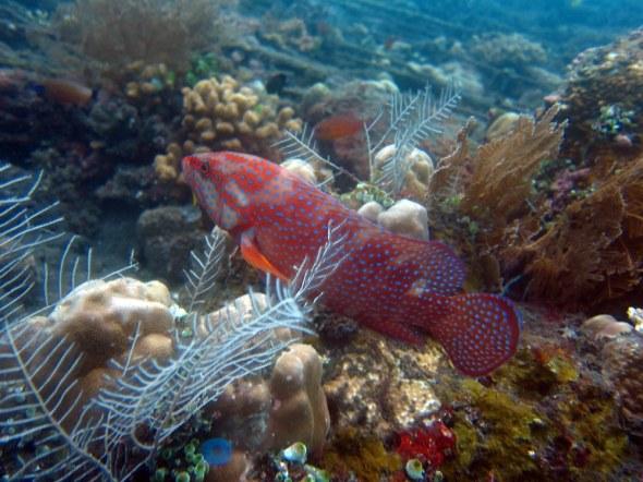 Grouper Scubadiving Tulamben Amed Bali