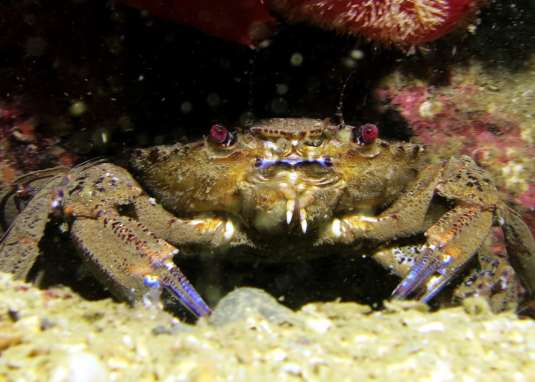 Velvet swimming crab scuba diving Sound of Mull Scotland