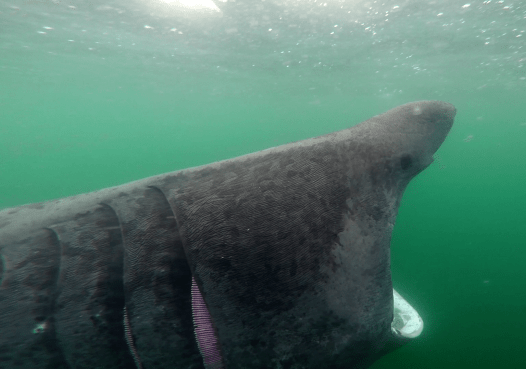 Basking shark Sound of Mull Scotland