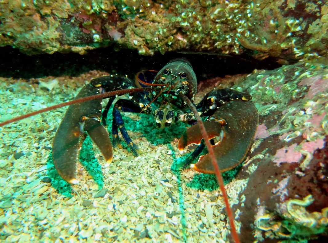 Lobster scuba diving Farne Islands England UK