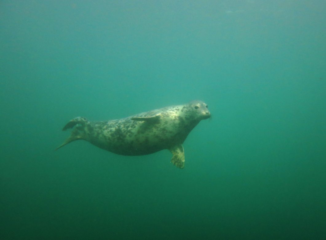 Grey Seal scuba diving Farne Islands England UK