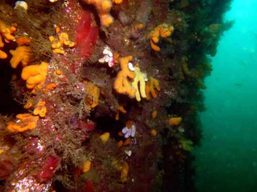 Scuba diving Scapa Flow Orkney Scotland