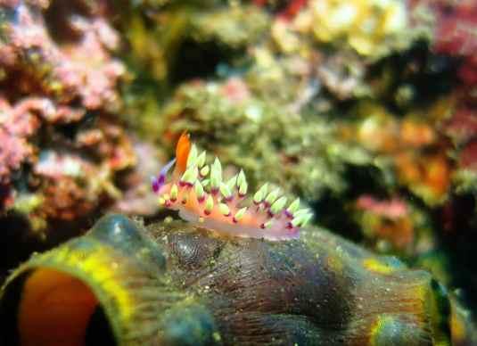 Flabellina nudibranch scuba diving Tulamben Bali Indonesia