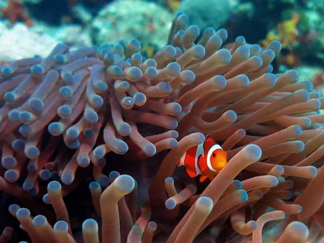 clownfish anemone scuba diving Menjangan Island Bali Indonesia