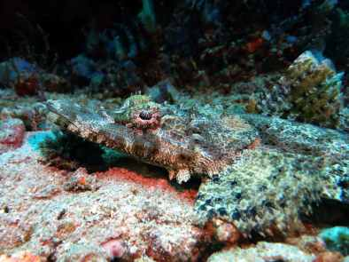 crocodile fish scuba diving Menjangan Island Bali Indonesia