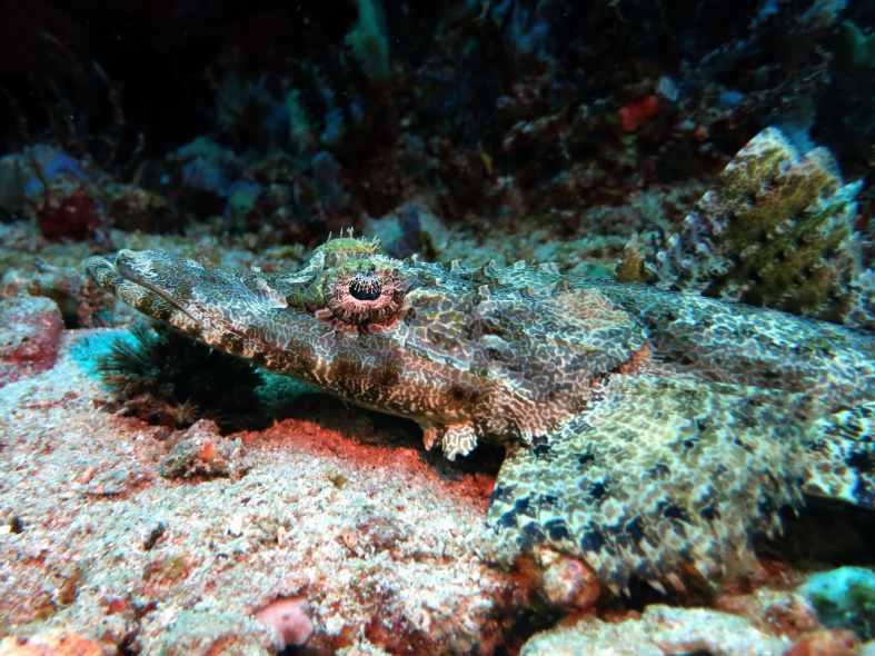 crocodile fish scuba diving Menjangan Island Bali Indonesia