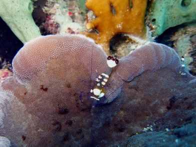 shrimp scuba diving Menjangan Island Bali Indonesia