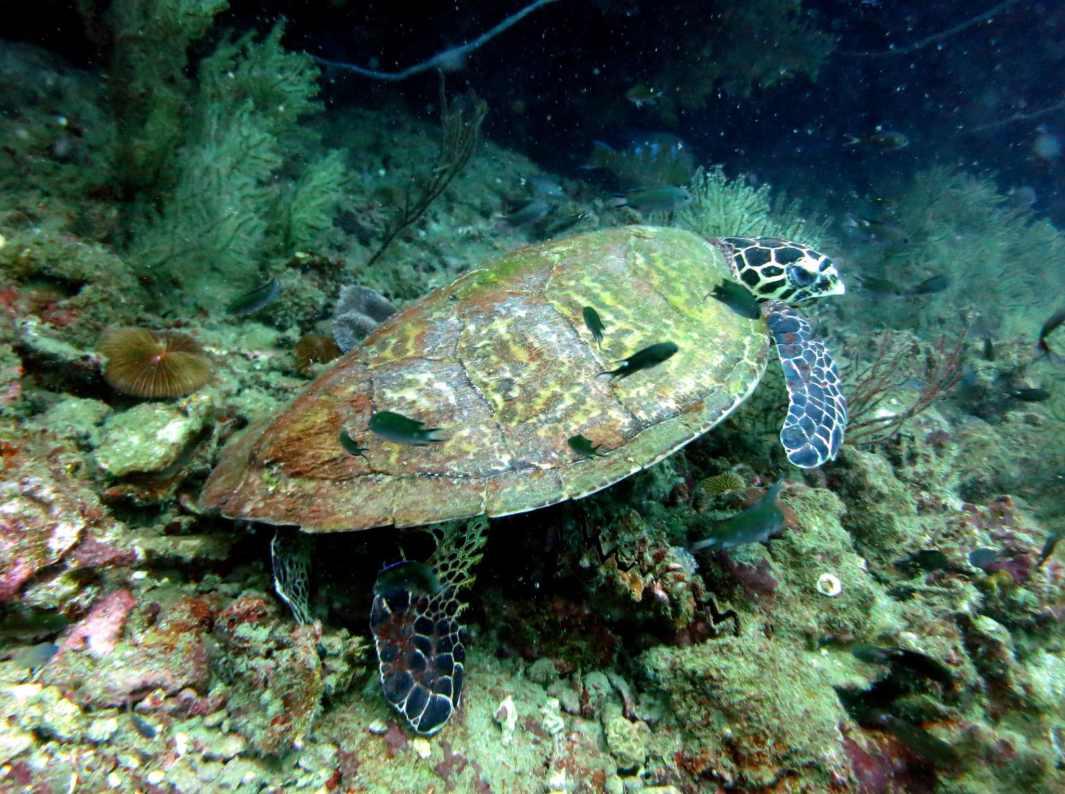 turtle scuba diving Koh Tao Thailand