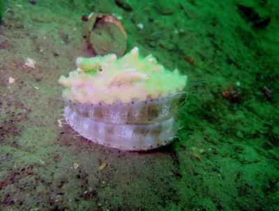 queen scallop Scuba diving St Cats Loch Fyne Scotland