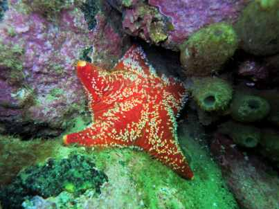 cushion starfish Scuba diving St Cats Loch Fyne Scotland