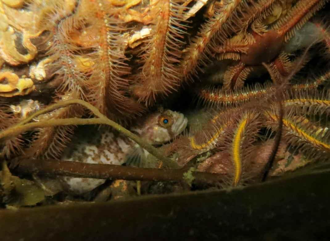 butterfish and brittle starfish Gallanach Oban Scotland