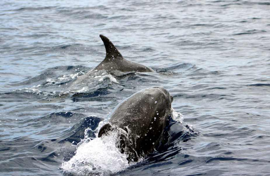 Dolphins Canary Islands