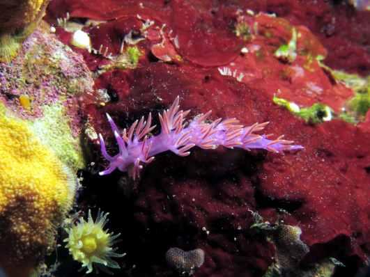 nudibranch scuba diving in Vis Island Croatia
