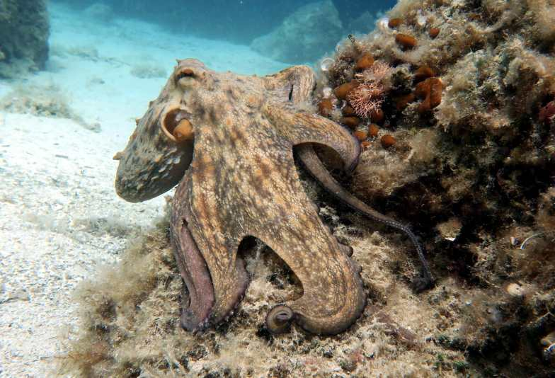 Octopus Scuba diving Hvar Croatia