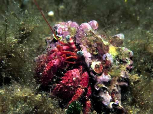 Hermit Crab Scuba diving Vis Croatia