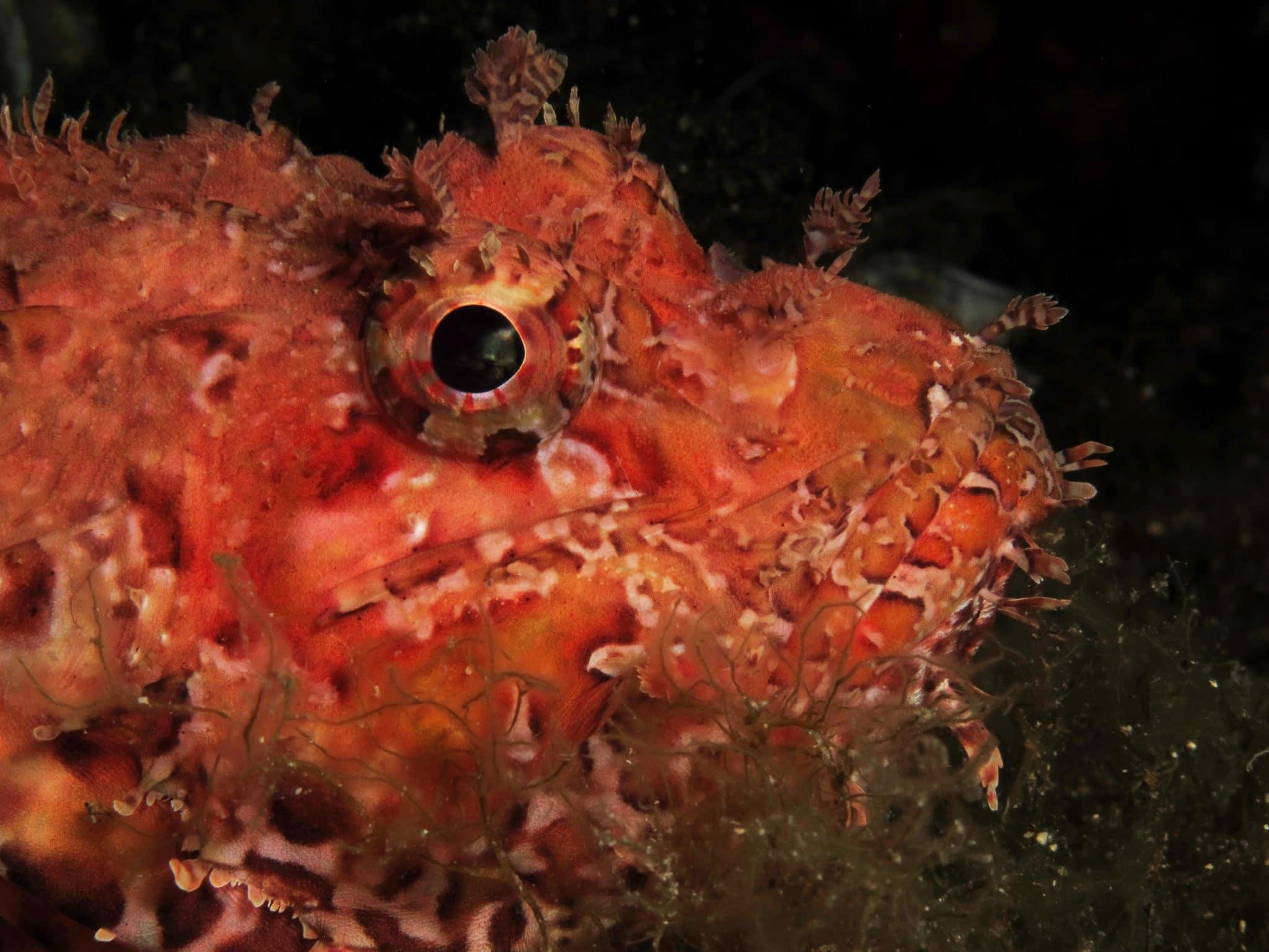 Scorpion fish Scuba diving Vis Island Croatia
