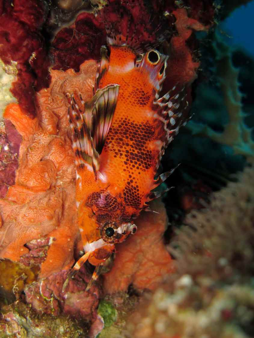 turkeyfish scuba diving in Malapascua Philippines