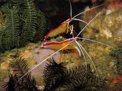 scarlet shrimps scuba diving in Malapascua Philippines