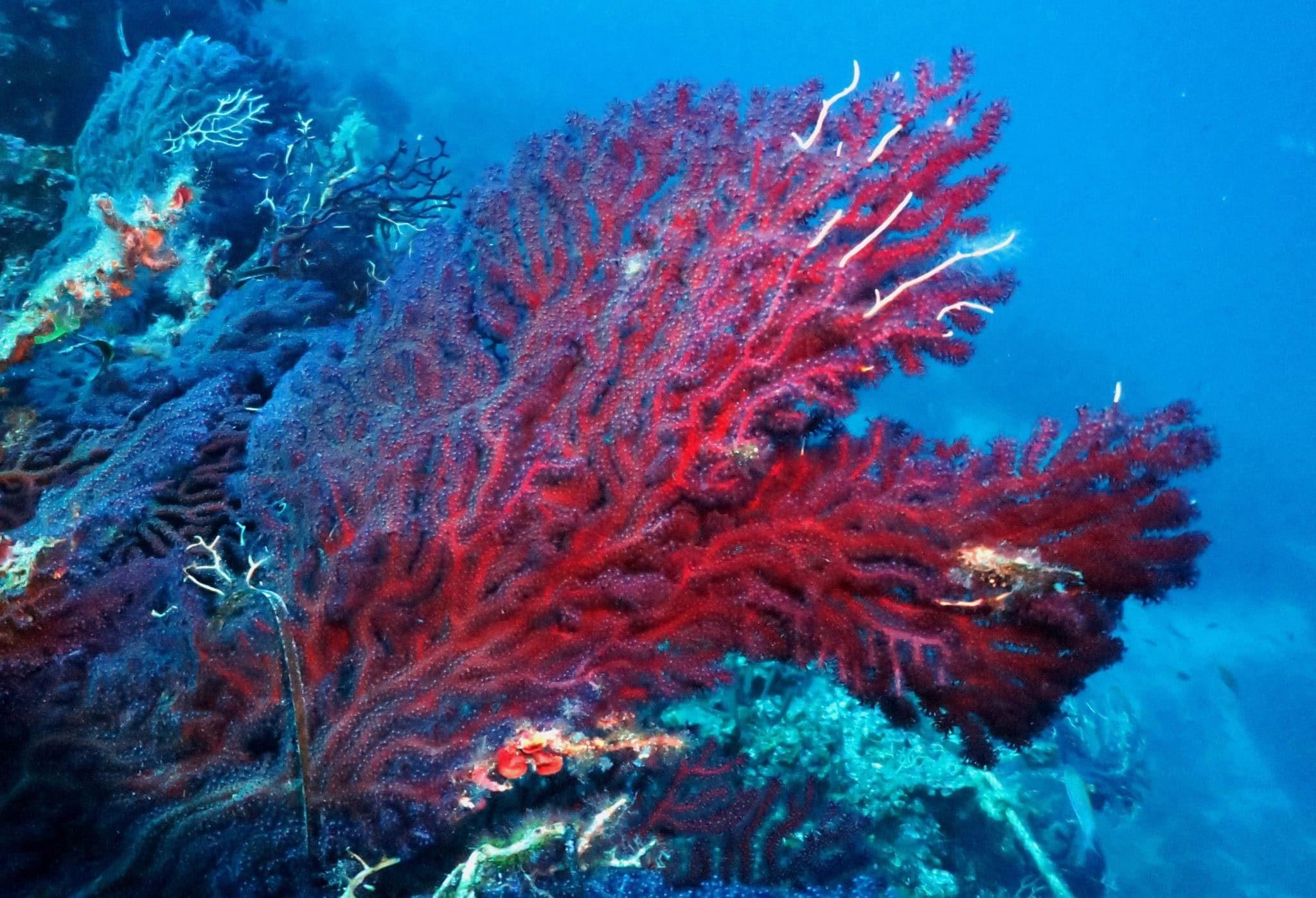 Red Gorgonians Scuba diving in Alonissos Greece