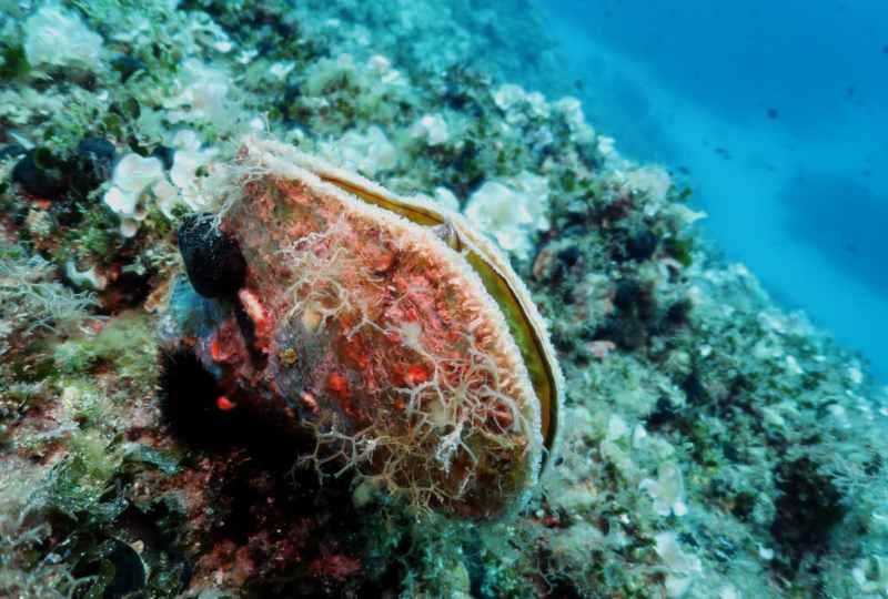 Fan mussel Scuba diving at Mourtias Reef Alonissos Greece