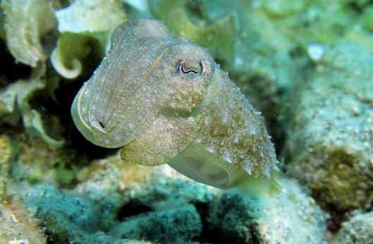 Cuttlefish Scuba diving at Agios Petros Reef Alonissos Greece
