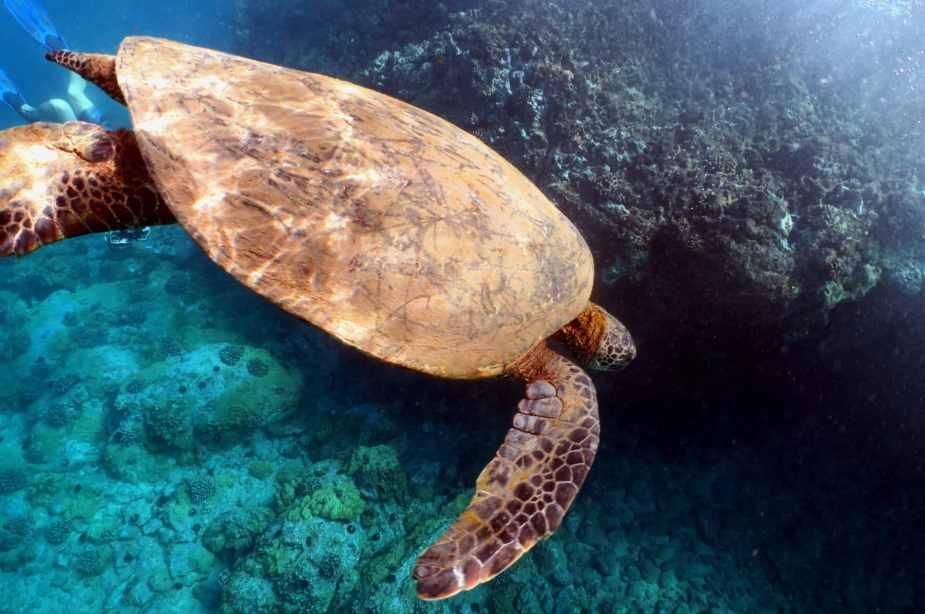 Green Turtle - snorkelling Turtle Town Makena Maui Hawaii