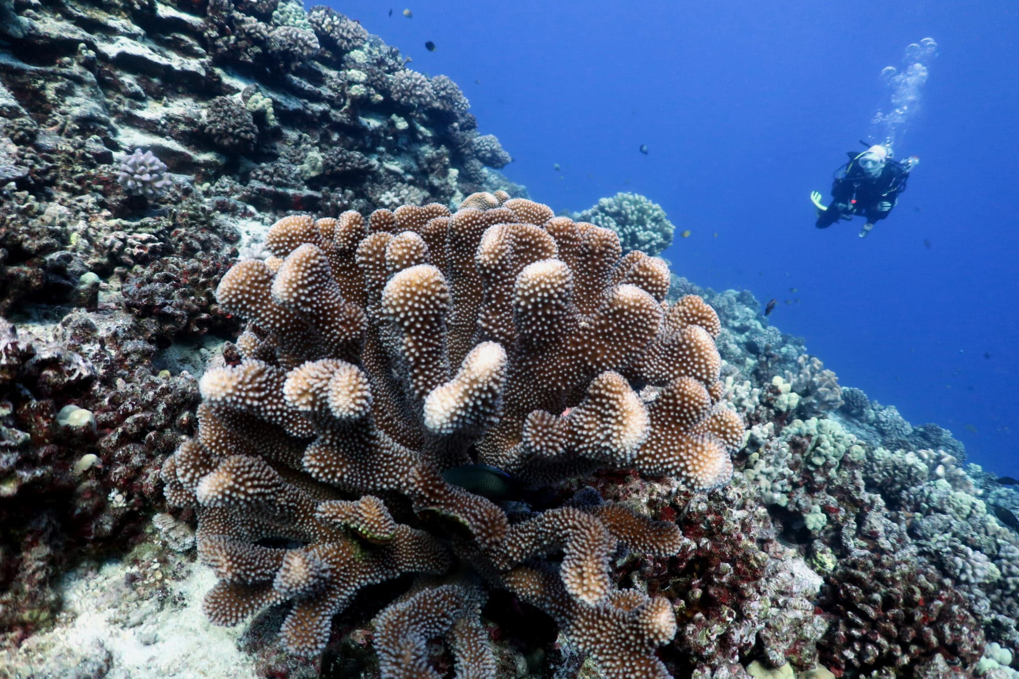 Finger coral - scuba diving in Middle Reef Molokini Crater Maui Hawaii USA