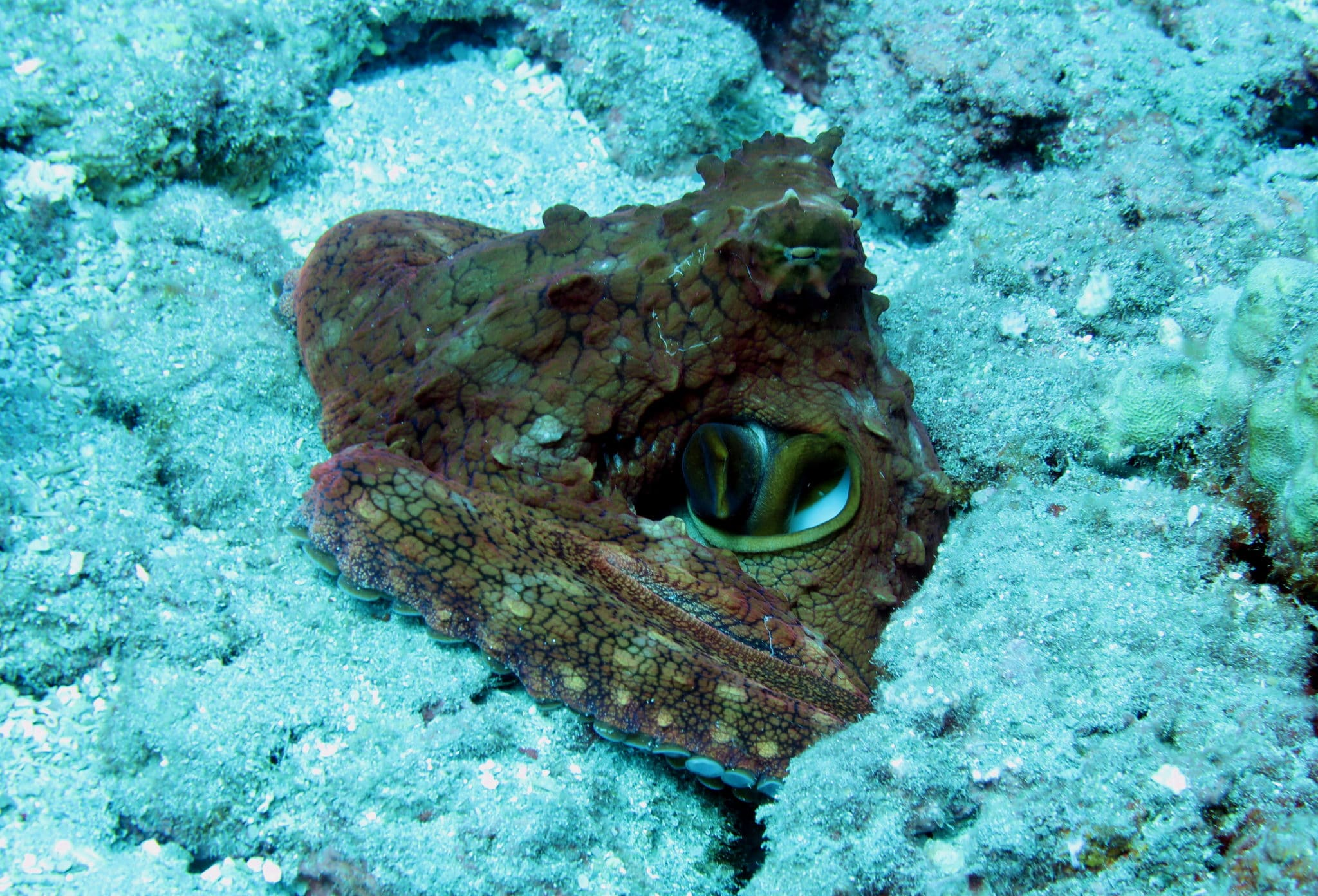 Day octopus - scuba diving in White Rock Makena Maui Hawaii USA