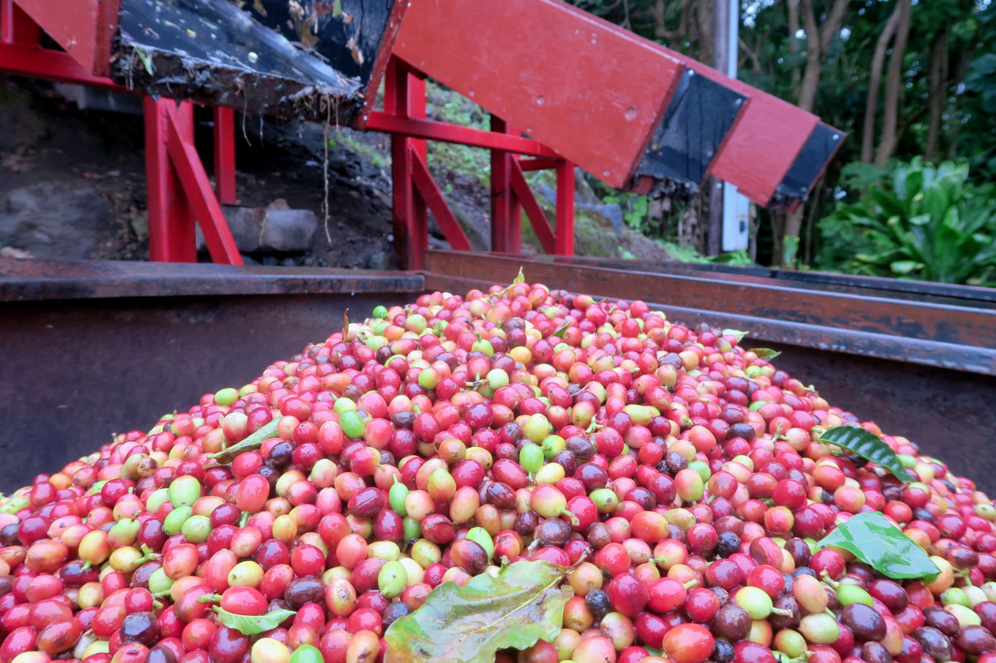 Kona Coffee Farms Big Island Hawaii