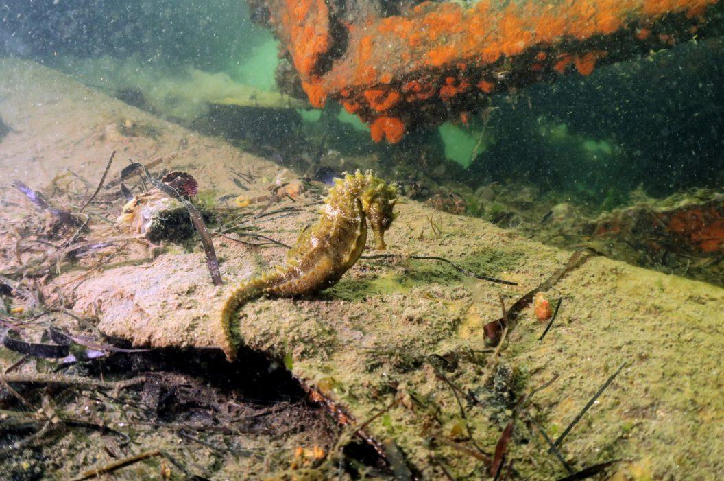 Hippocampe plongée étang de thau