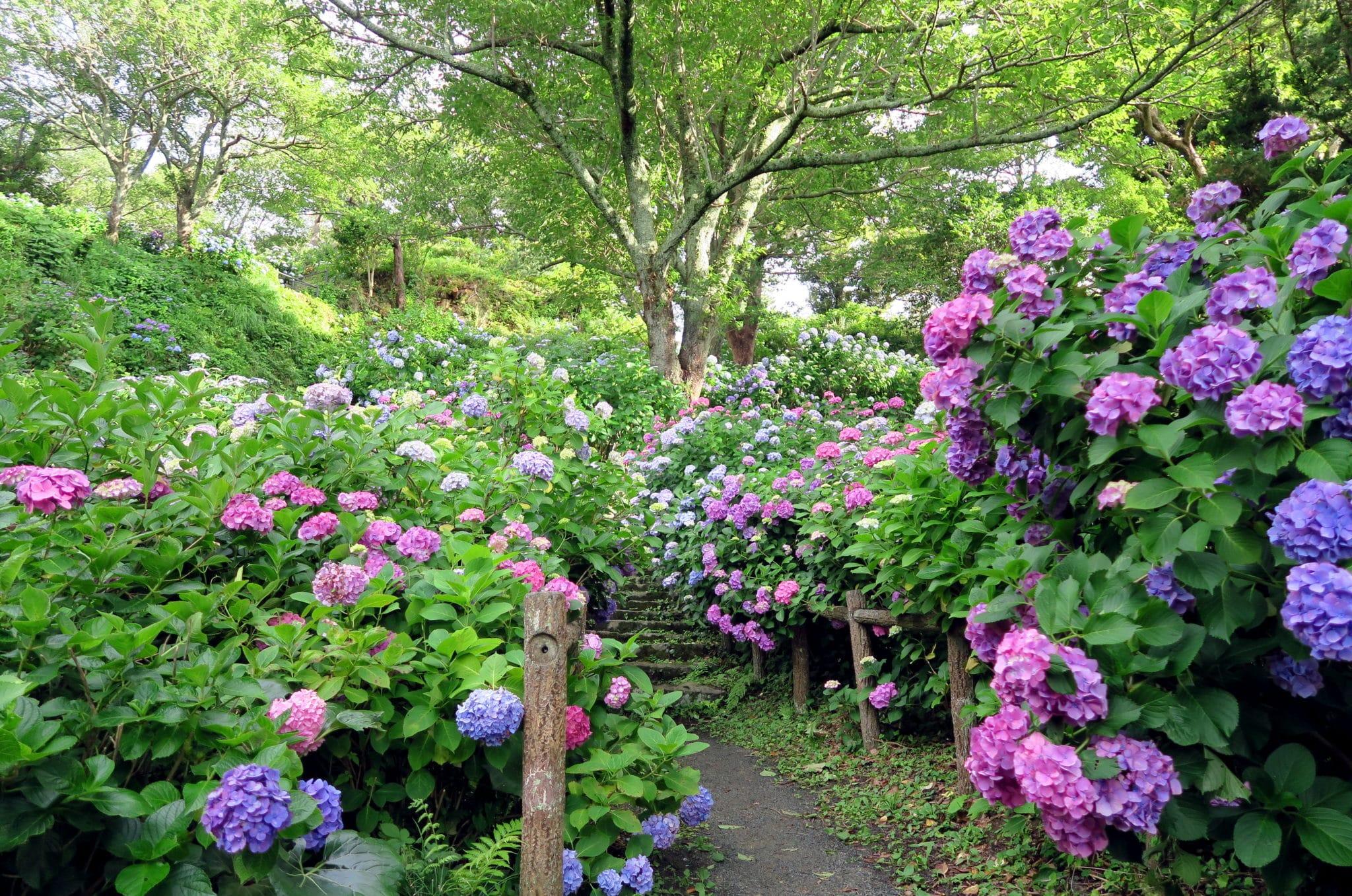 Hydrangea Shimoda Park Izu Peninsula Japan