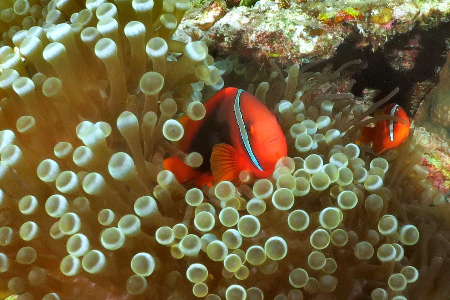 Anemonefish diving in Okinawa