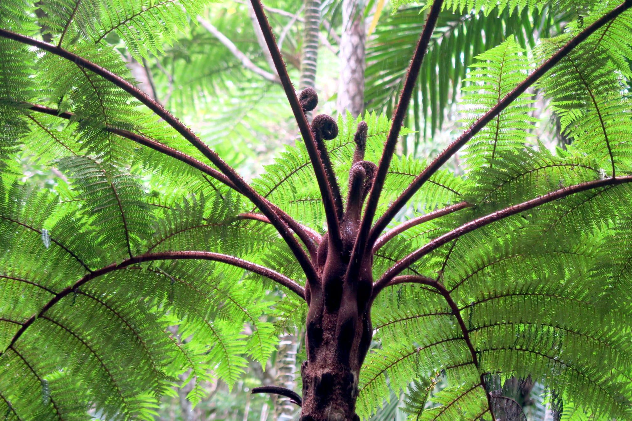 Tree Fern Park Farino New Caledonia