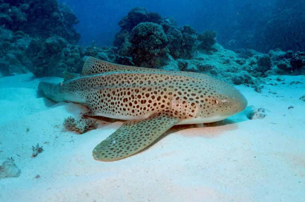 leopard shark hienghene new caledonia