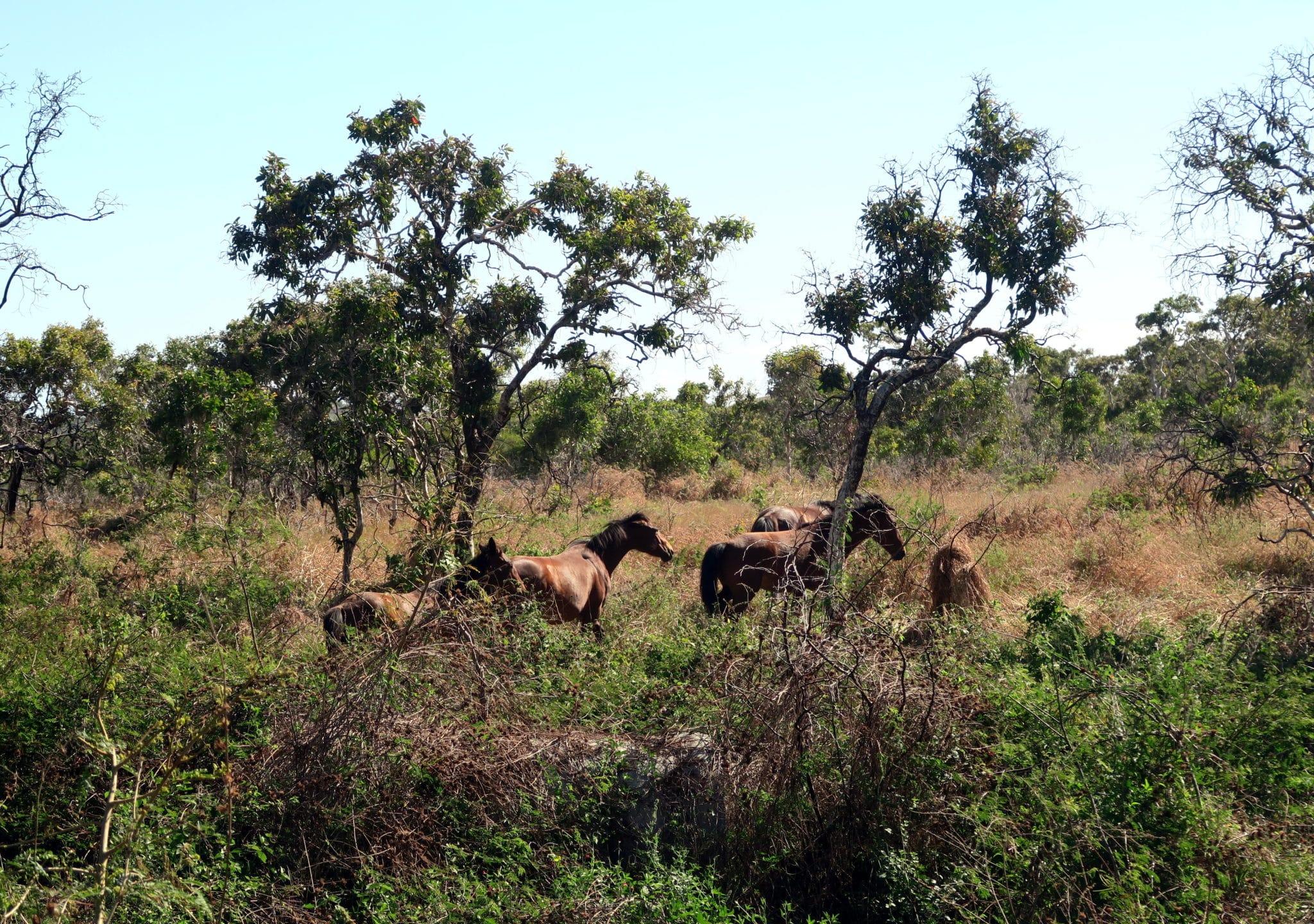 wild horses Road from Koumac to Poingam New Caledonia