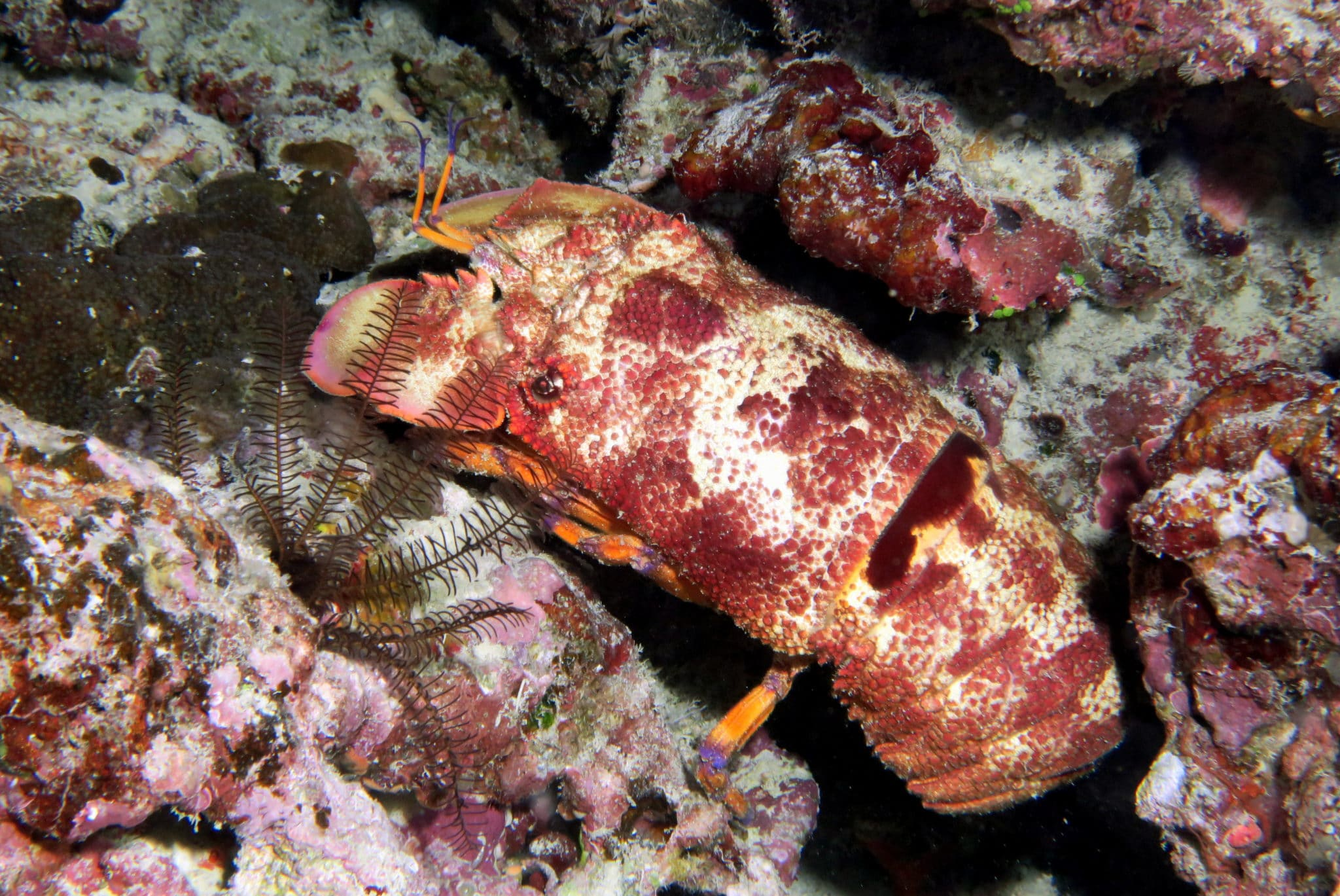 Slipper Lobster scuba diving Isle of Pines New Caledonia
