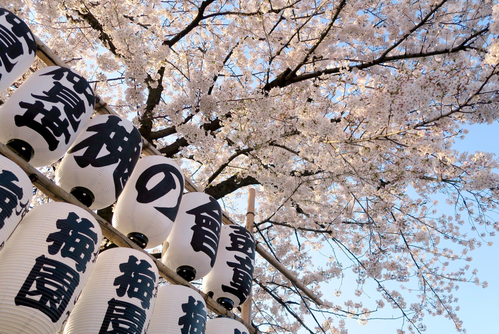 Sakura Asakusa Tokyo Japan