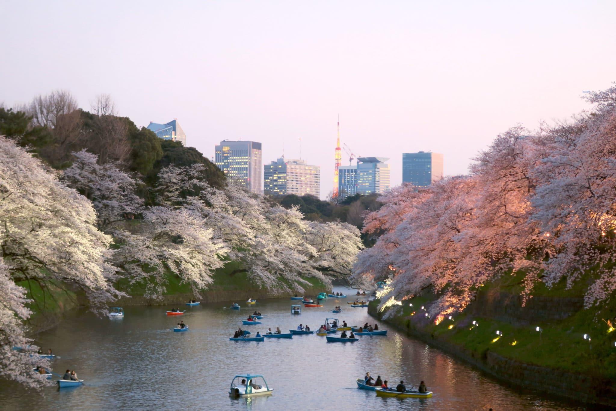 Chidorigafuchi Green Way Sakura in Tokyo Japan