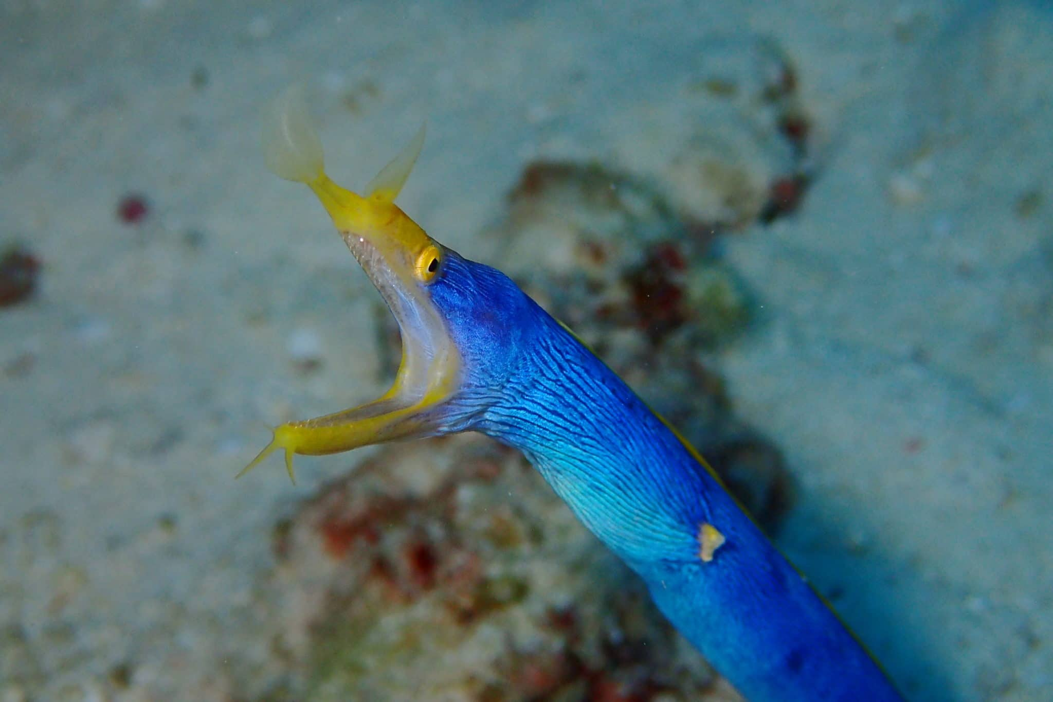 Ribbon Eel Scuba diving Taketomi Ishigaki Okinawa Japan