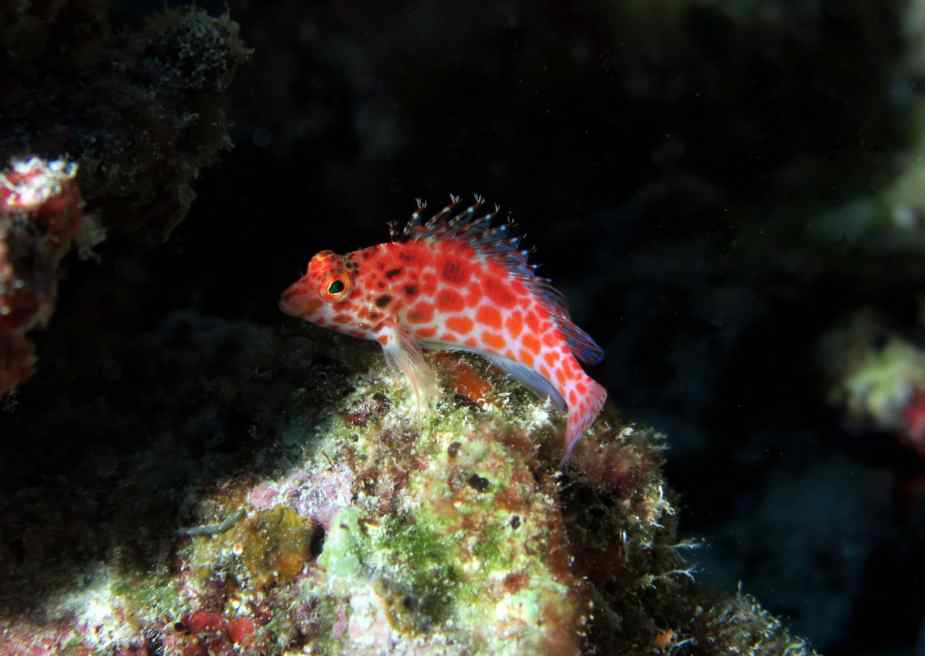 Hawkfish Taketomi diving in Ishigaki Okinawa Japan