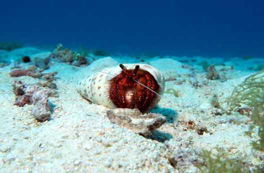 Hermit CrabScuba diving Taketomi Ishigaki Okinawa Japan