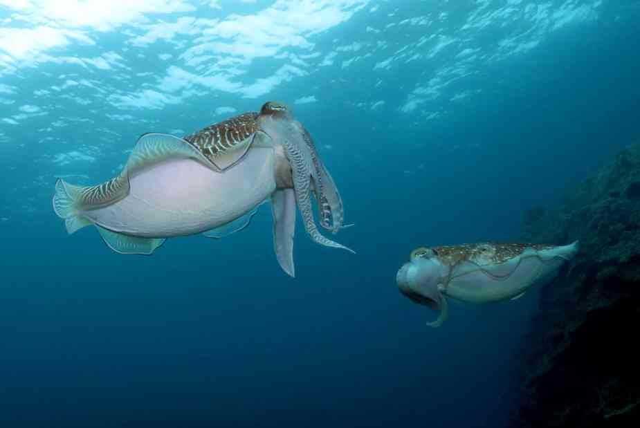 Cuttlefish diving in Ishigaki Okinawa Japan