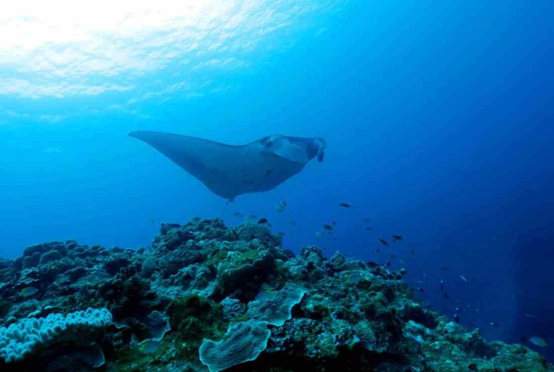 Manta rays diving in Ishigaki Okinawa Japan