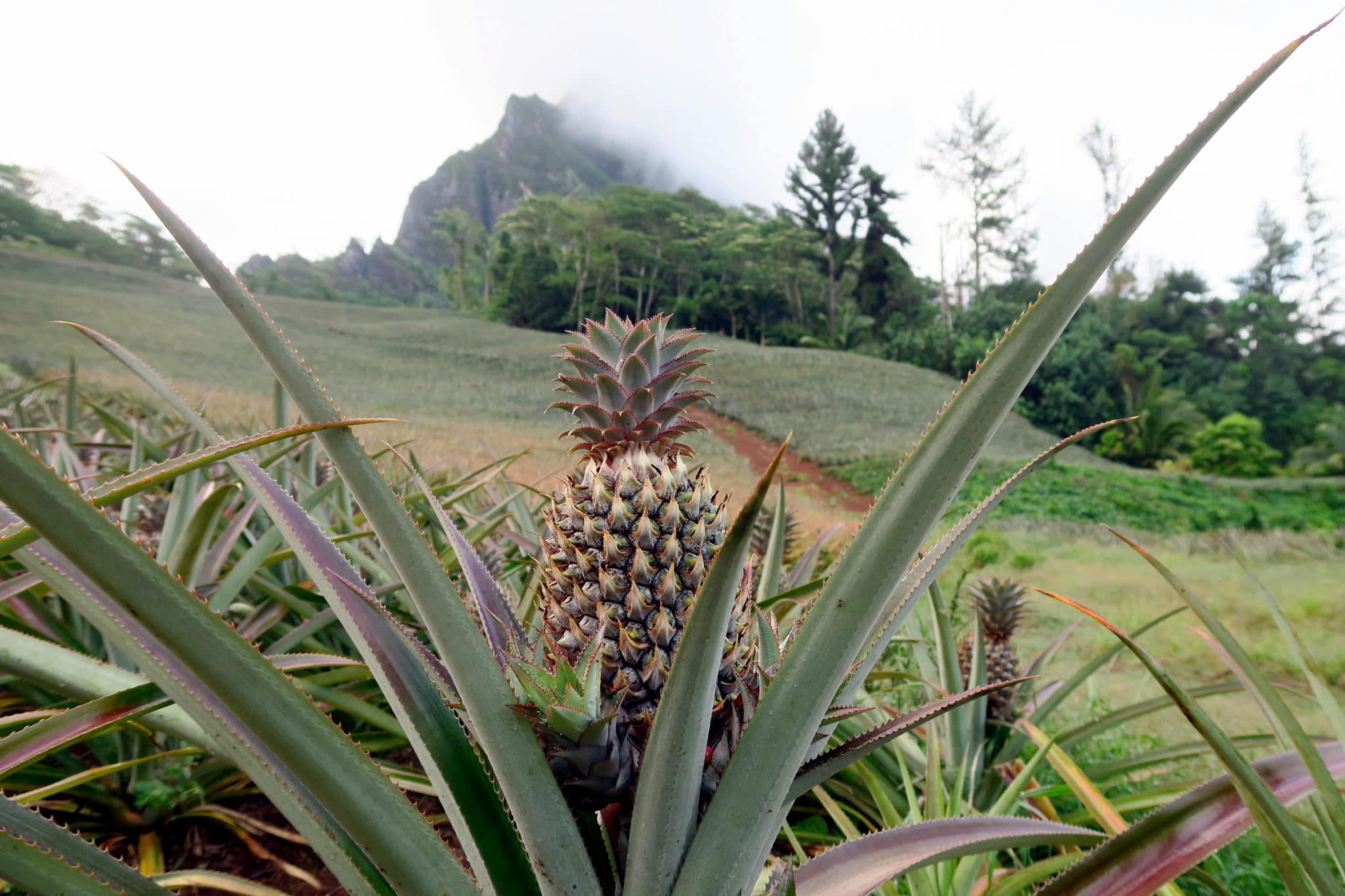 Pineapple fields Moorea French Polynesia