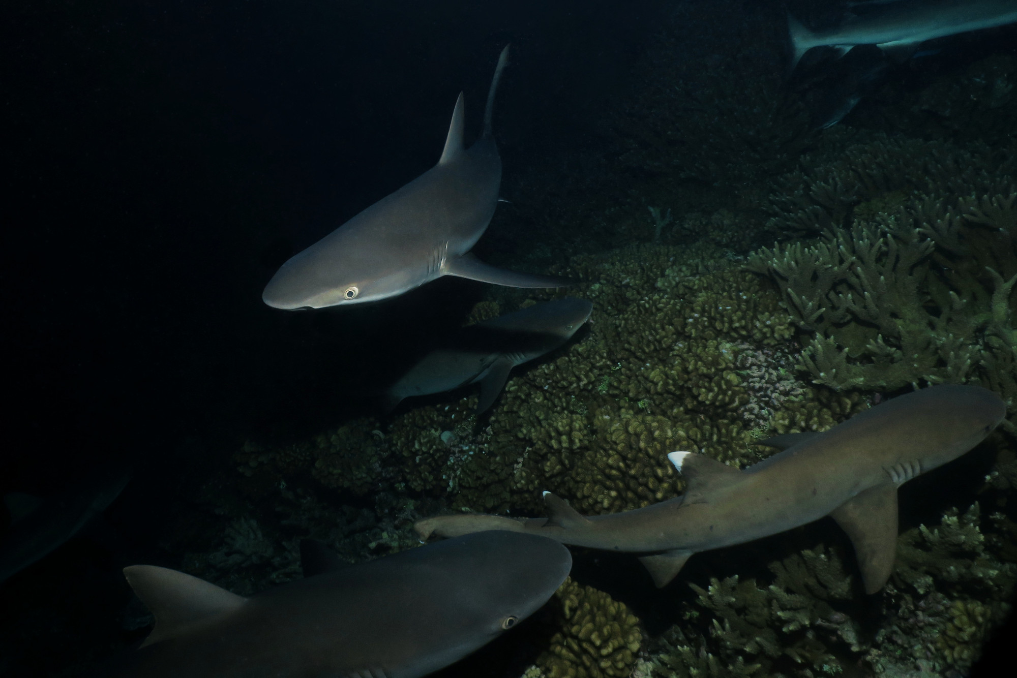 shark night diving Fakarava