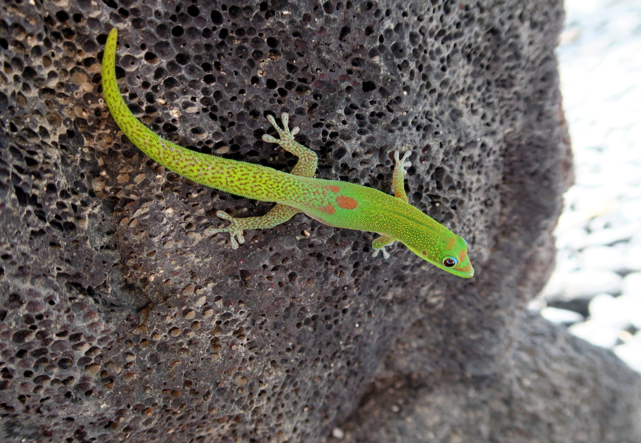 Lizard Honaunau National Historical Park Big Island Hawaii